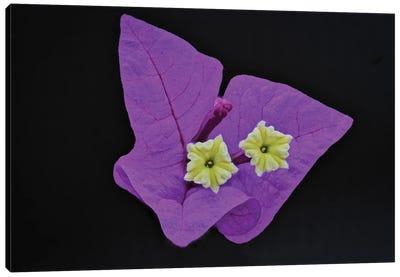 Great Bougainvillea Flower Canvas Art Print