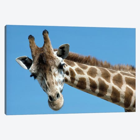 Reticulated Giraffe Portrait, Native To Africa Canvas Print #ZSD10} by James Ruby Canvas Artwork