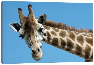Reticulated Giraffe Portrait, Native To Africa Canvas Art Print