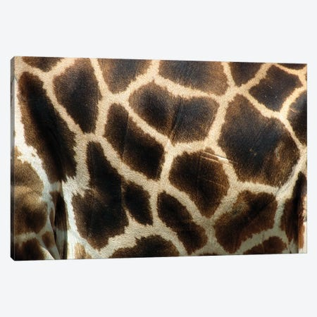 Rothschild Giraffe Detail Of Coat Pattern, Native To Uganda And Kenya Canvas Print #ZSD11} by James Ruby Canvas Wall Art