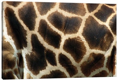 Rothschild Giraffe Detail Of Coat Pattern, Native To Uganda And Kenya Canvas Art Print
