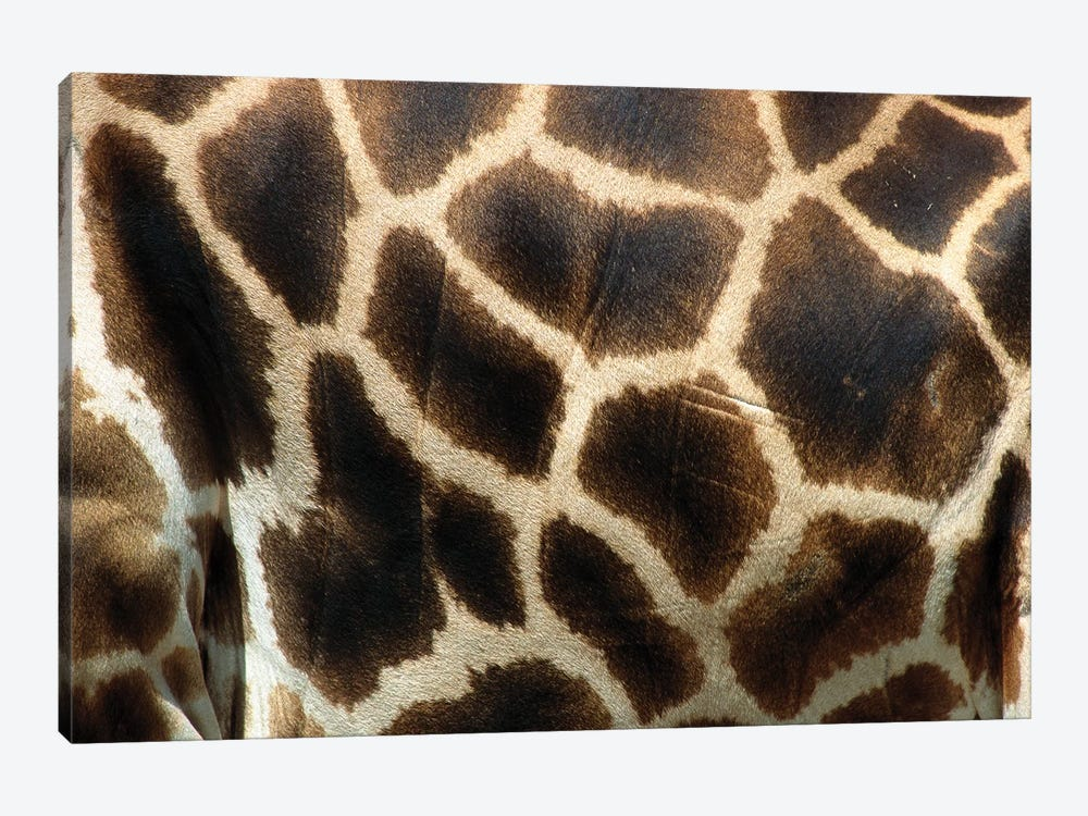 Rothschild Giraffe Detail Of Coat Pattern, Native To Uganda And Kenya by James Ruby 1-piece Art Print