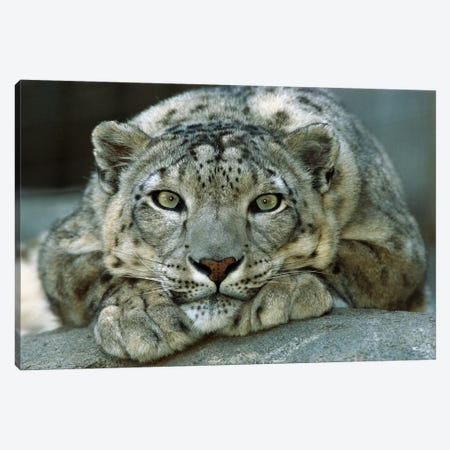 Snow Leopard Portrait Native To Mountainous Regions Of Central Asia Canvas Print #ZSD12} by James Ruby Canvas Artwork