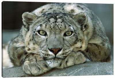 Snow Leopard Portrait Native To Mountainous Regions Of Central Asia Canvas Art Print