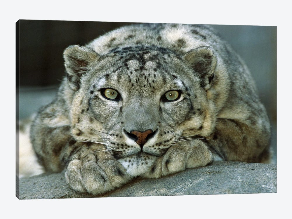 Snow Leopard Portrait Native To Mountainous Regions Of Central Asia by James Ruby 1-piece Canvas Wall Art