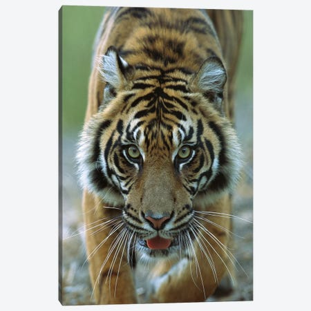 Sumatran Tiger Close-Up Portrait Of Female, Endemic To Sumatra, Indonesia Canvas Print #ZSD13} by James Ruby Canvas Art