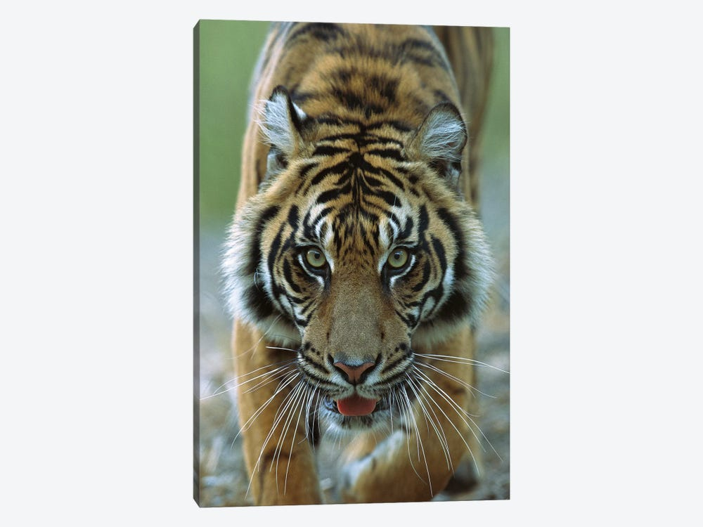Sumatran Tiger Close-Up Portrait Of Female, Endemic To Sumatra, Indonesia by James Ruby 1-piece Canvas Print