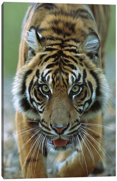 Sumatran Tiger Close-Up Portrait Of Female, Endemic To Sumatra, Indonesia Canvas Art Print
