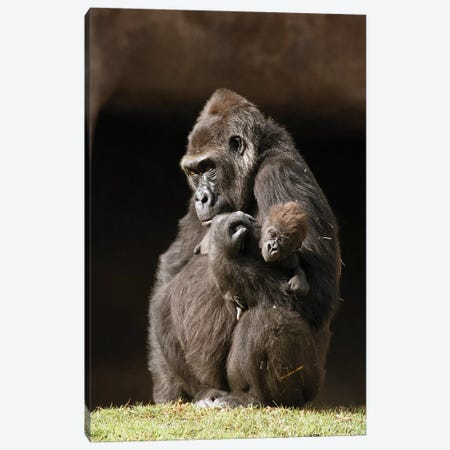 Western Lowland Gorilla Mother Holding Her Baby, Native To Africa Canvas Print #ZSD14} by James Ruby Canvas Print