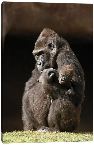 Western Lowland Gorilla Mother Holding Her Baby, Native To Africa Canvas Art Print