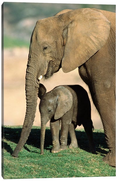 African Elephant Mother And Calf, Native To Africa Canvas Art Print