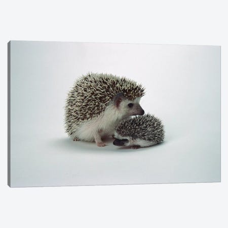 African Hedgehog Baby And Mother, Native To Africa Canvas Print #ZSD2} by James Ruby Art Print
