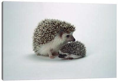 African Hedgehog Baby And Mother, Native To Africa Canvas Art Print