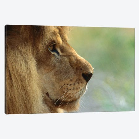 African Lion Male Portrait Canvas Print #ZSD3} by James Ruby Canvas Art Print