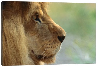 African Lion Male Portrait Canvas Art Print