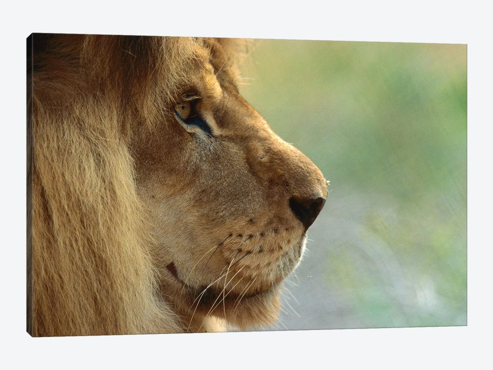 African Lion Male Portrait by ZSSD 1-piece Canvas Wall Art