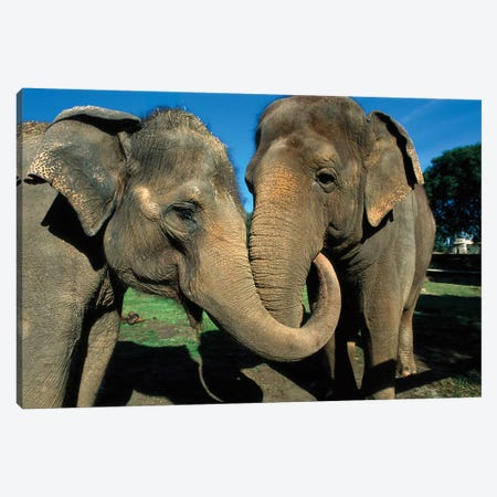 Asian Elephant Pair With Entwined Trunks, Native To India, Asia, Thailand And Laos Canvas Print #ZSD4} by ZSSD Canvas Art