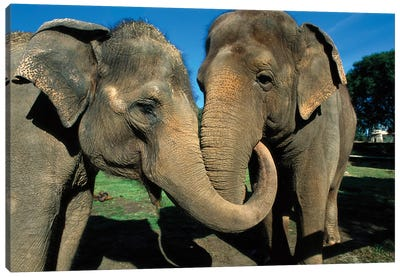 Asian Elephant Pair With Entwined Trunks, Native To India, Asia, Thailand And Laos Canvas Art Print