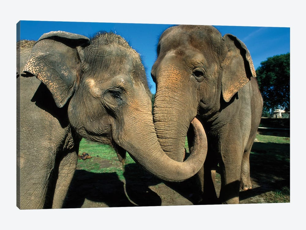 Asian Elephant Pair With Entwined Trunks, Native To India, Asia, Thailand And Laos by James Ruby 1-piece Canvas Print