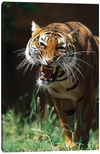 Bengal Tiger Snarling, Native To India Canvas Art Print