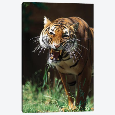 Bengal Tiger Snarling, Native To India Canvas Print #ZSD5} by ZSSD Canvas Art