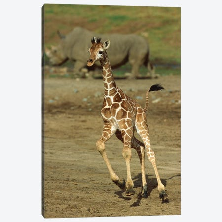 Giraffe Juvenile Running With Rhino In Background, San Diego Zoo, California Canvas Print #ZSD7} by James Ruby Canvas Art