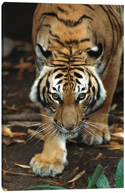 Malayan Tiger, Native To Malaysia Canvas Art Print
