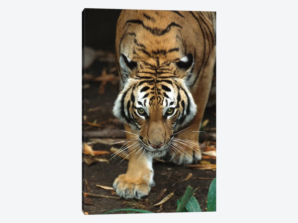Malayan Tiger, Native To Malaysia by James Ruby 1-piece Canvas Wall Art