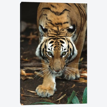 Malayan Tiger, Native To Malaysia 3-Piece Canvas #ZSD9} by ZSSD Canvas Print