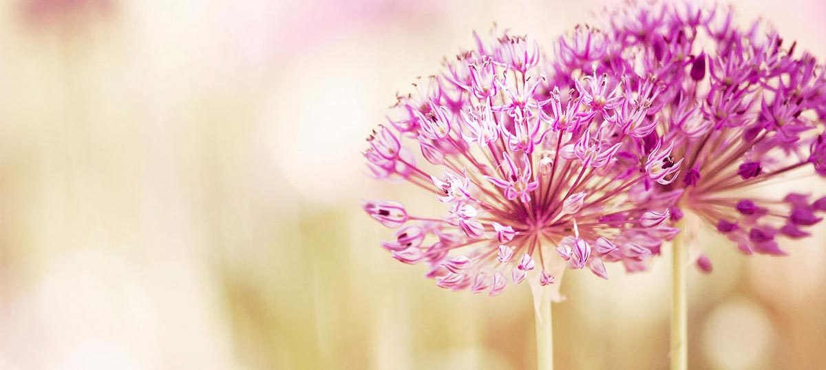 Alliums Canvas Art Prints
