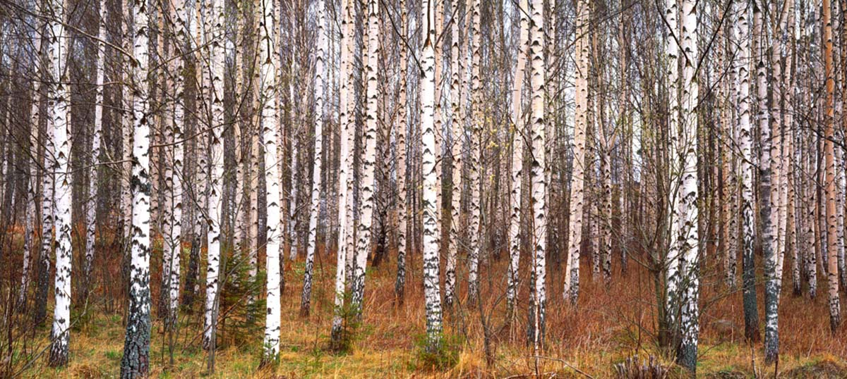 Birch Trees Canvas Artwork