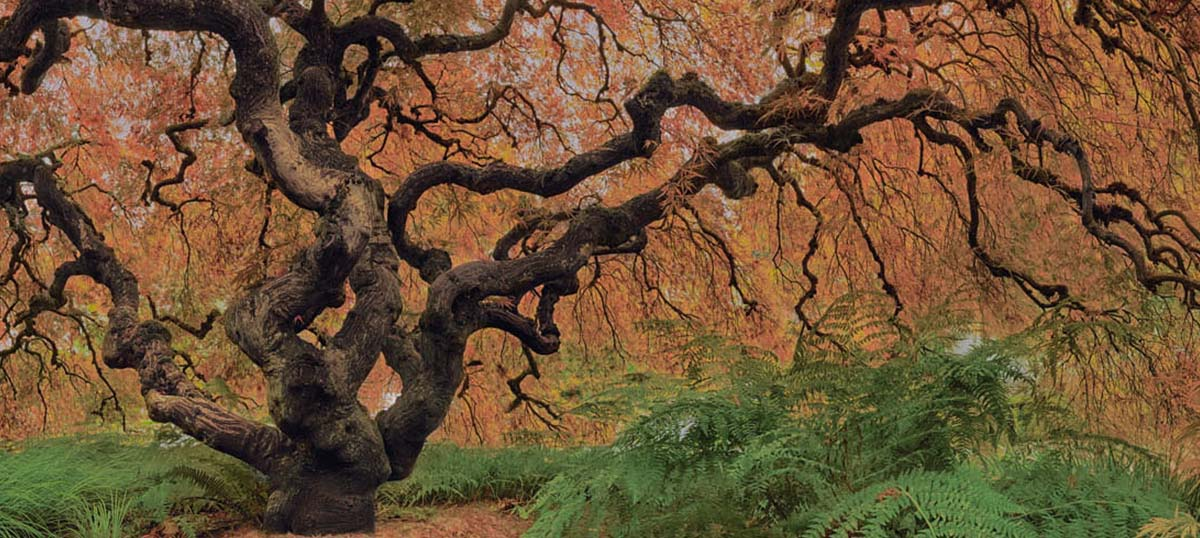 Japanese Maple Trees Canvas Artwork