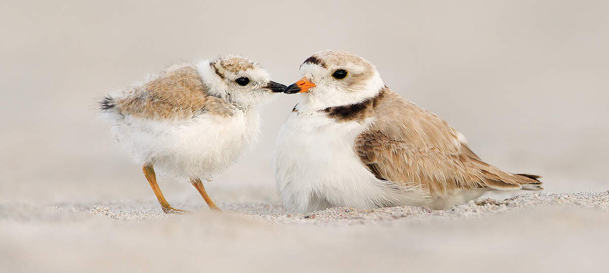 Plovers Canvas Artwork