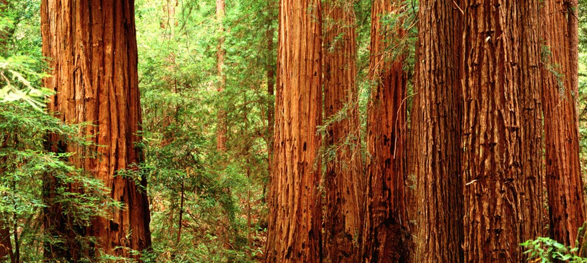 Redwood Trees Canvas Art