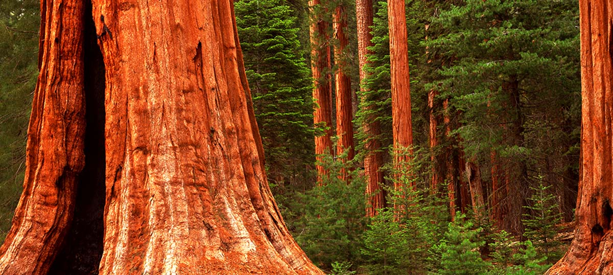 Sequoia Trees Art Prints