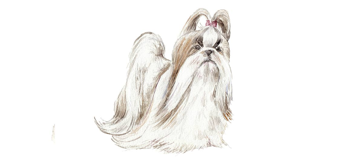 Shih tzus Canvas Art Prints