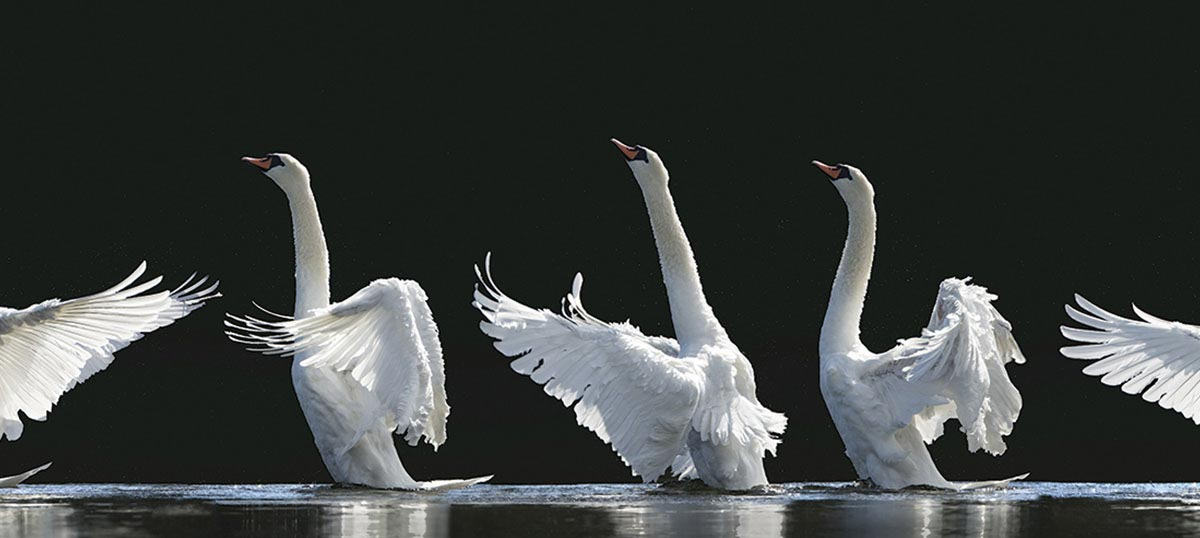 Swans Canvas Art Prints
