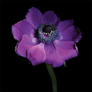 Anemones Canvas Prints