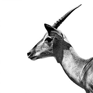 Antelopes Art Prints