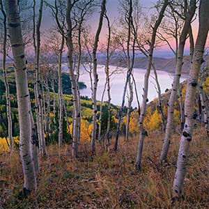 Aspen Trees Canvas Art
