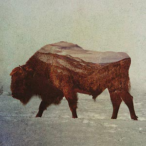 Bison & Buffalos Art Prints