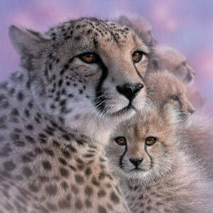 Cheetahs Canvas Prints