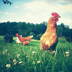 Chickens & Roosters Canvas Prints