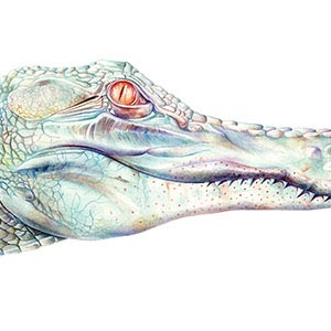 Crocodiles & Alligators Canvas Artwork