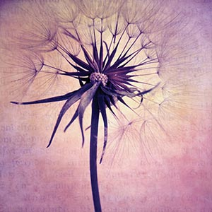Dandelions Canvas Artwork
