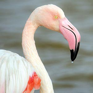 Flamingos Art Prints