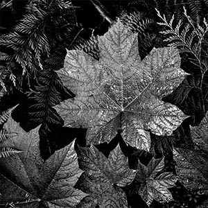 Leaf Close-Ups Canvas Prints