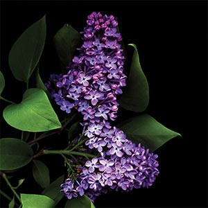 Lilacs Canvas Artwork