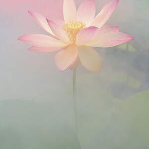 Lotuses Canvas Artwork