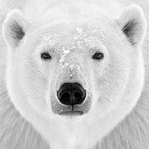 Polar Bears Art Prints